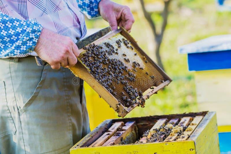 检查蜂房的蜂农 库存图片
