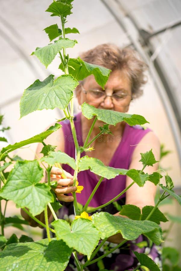 检查黄瓜植物的资深妇女在温室 免版税库存图片