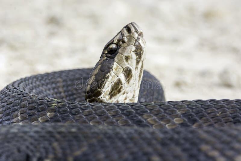 棉口蛇蛇 免版税库存图片