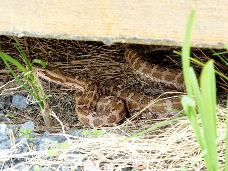 棉口蛇蛇Gloydius halys venomouse在房子特写镜头下的坑蛇蝎 库存照片