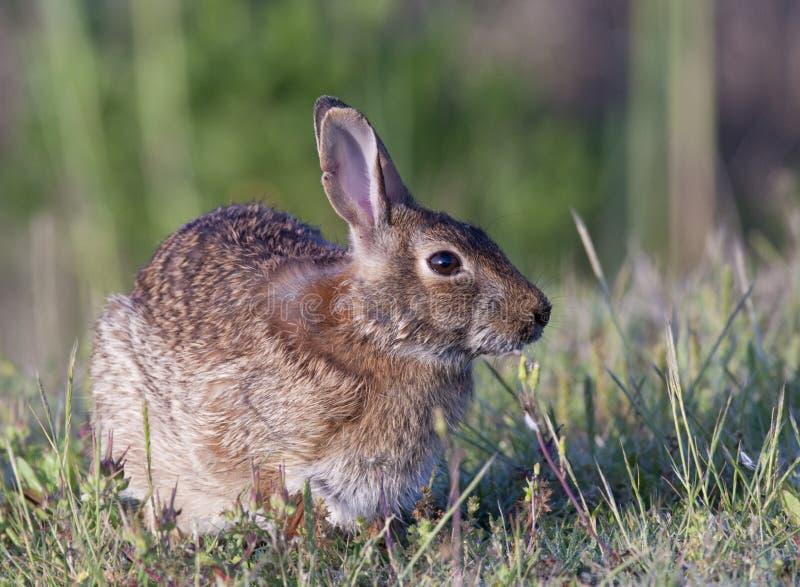 棉尾兔东部兔子 库存照片