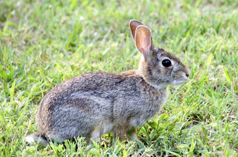 棉尾兔东部兔子 图库摄影