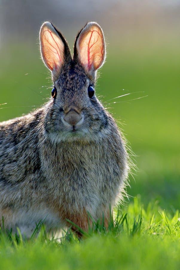 棉尾兔东部floridanus北美洲兔类 免版税库存照片