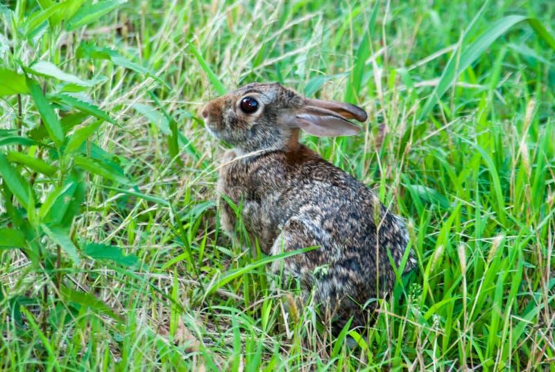 棉尾兔小兔 库存照片