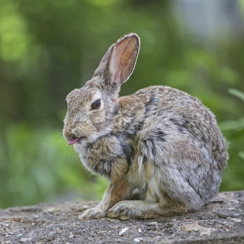 棉尾巴兔子北美洲兔类floridanus 免版税库存图片