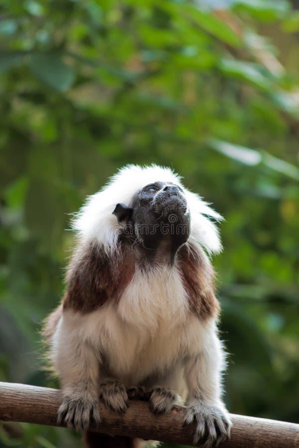 棉花俄狄浦斯saguinus绢毛猴顶层 库存照片