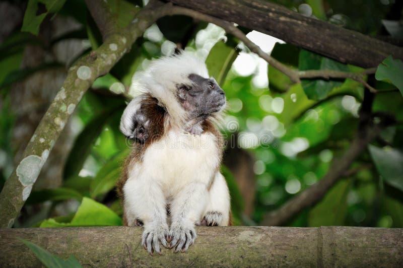 棉花俄狄浦斯saguinus singapor绢毛猴顶层 库存照片