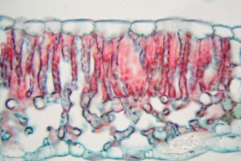 棉花叶子在显微镜下 免版税库存图片