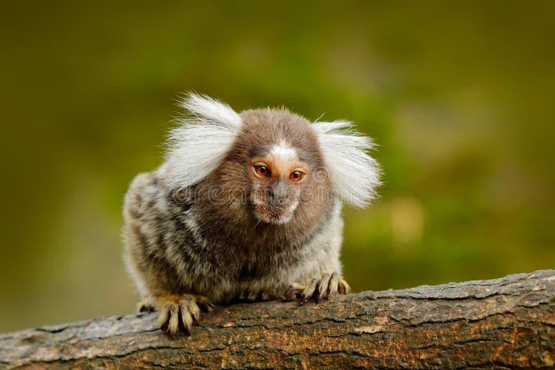 棉花头等的绢毛猴,里约卡克塔省,哥伦比亚 在绿色热带森林动物掩藏的小mokley从密林在南美 Wil 免版税库存图片