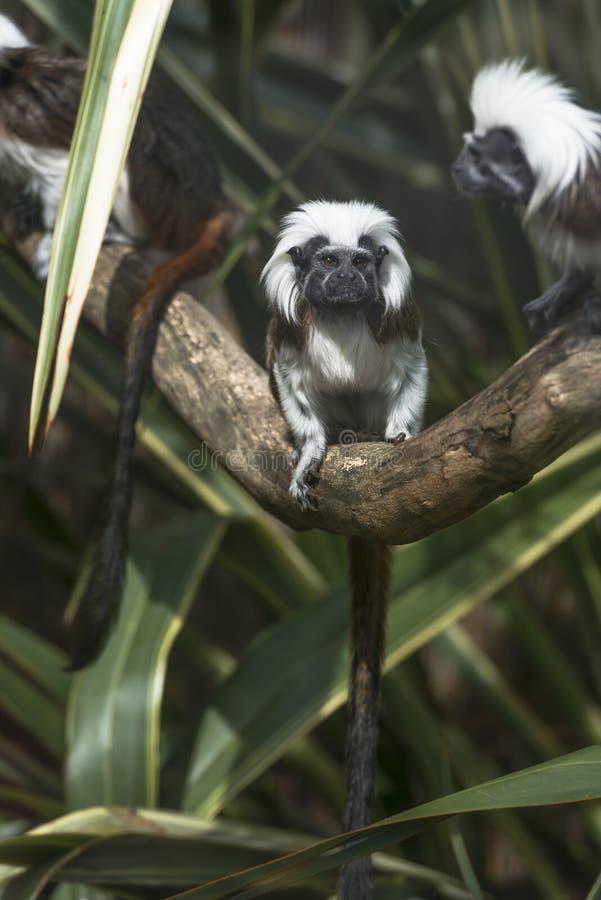 棉花带头的绢毛猴(Saguinus俄狄浦斯) 免版税库存图片