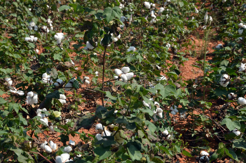 棉花庄稼 库存图片