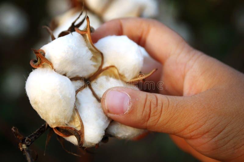 棉花收获 库存图片