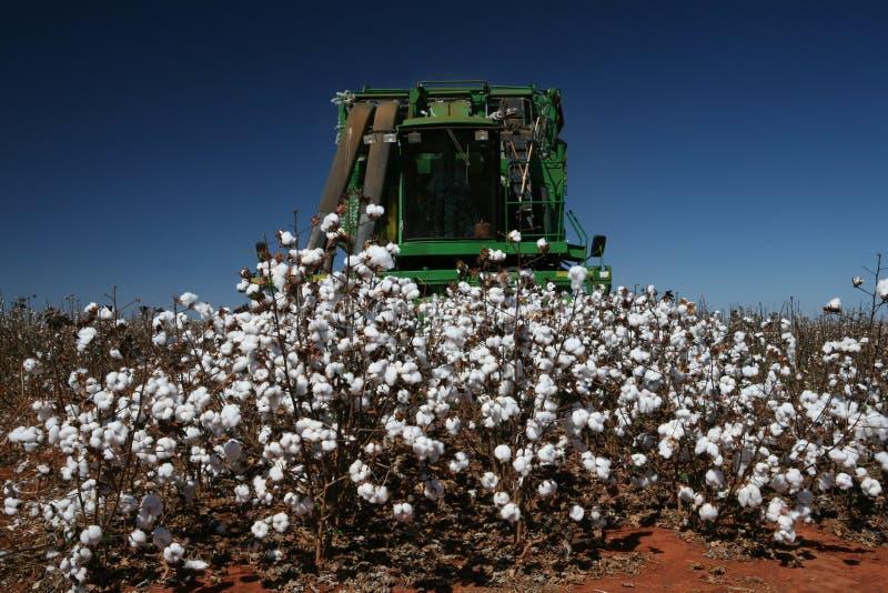棉花收获 免版税库存照片
