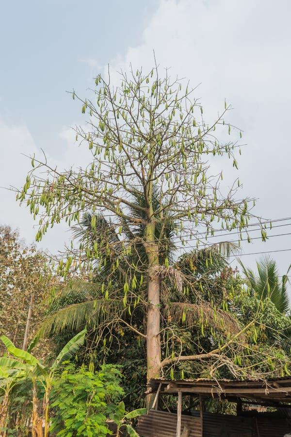 棉花树 免版税库存照片