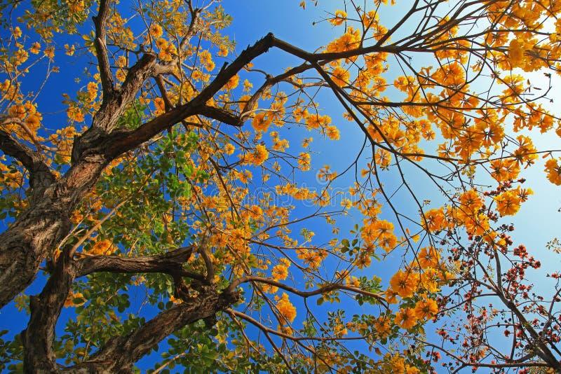 棉花花金黄结构树喇叭 免版税图库摄影