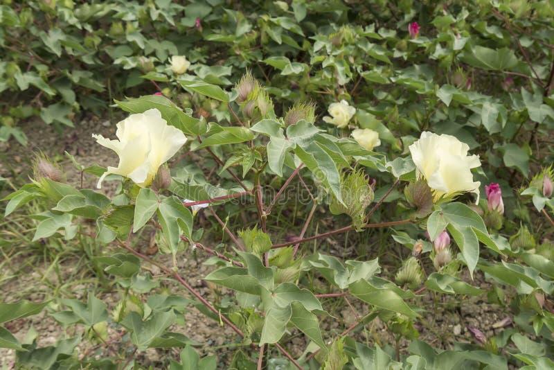 棉花花,棉树,棉花芽 免版税图库摄影