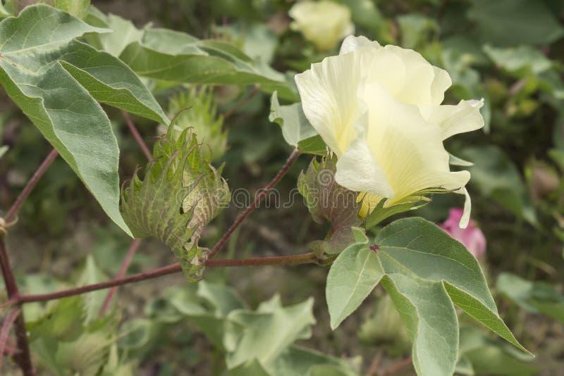 棉花花,棉树,棉花芽 免版税库存图片