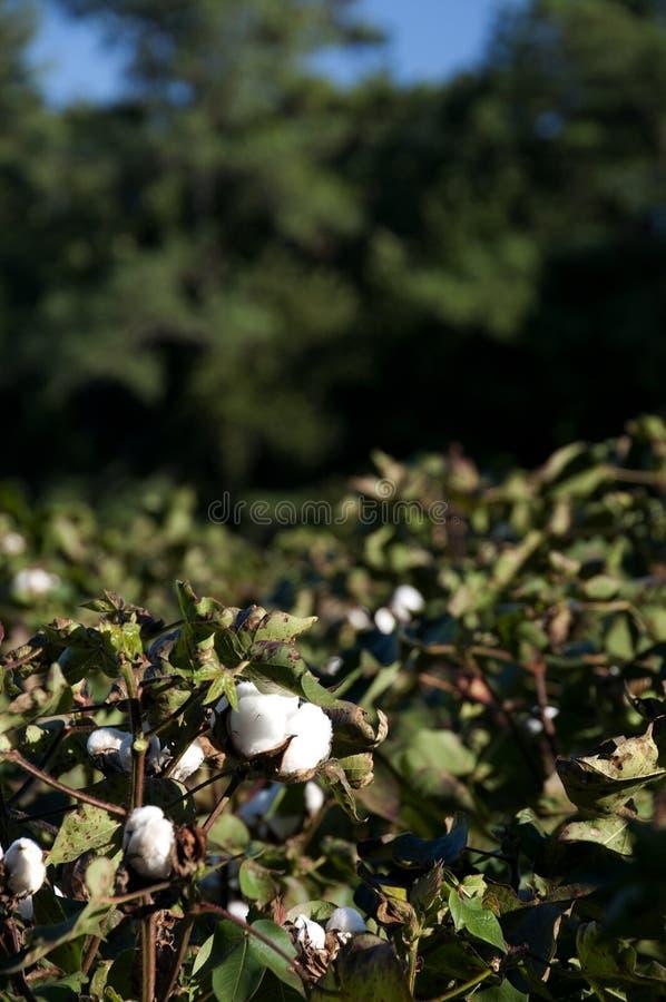 棉花蒴 库存图片
