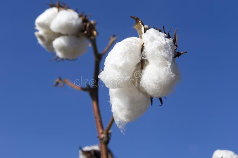 棉花调遣与成熟棉花的白色准备好收获 免版税库存照片