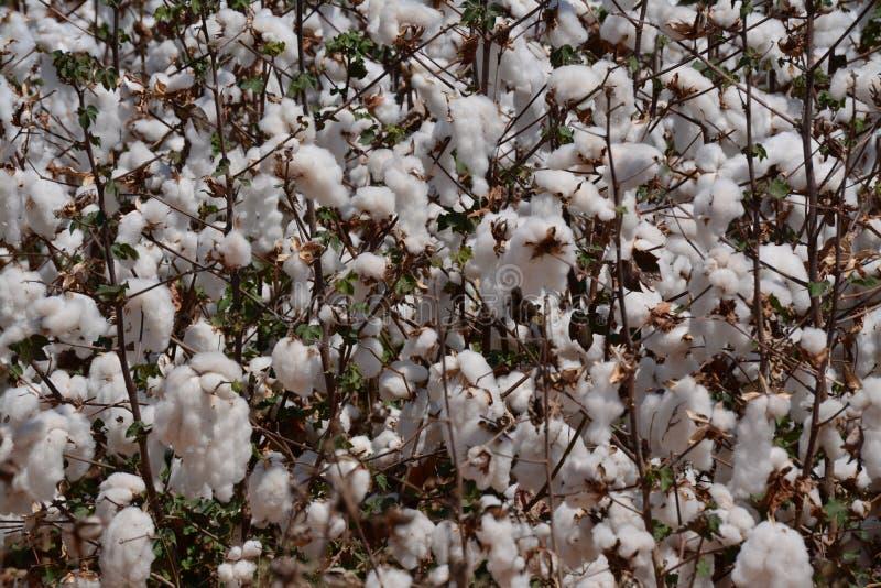 棉花领域细节 免版税图库摄影