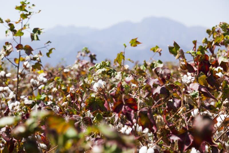 棉花领域 Omo谷 埃塞俄比亚 免版税库存图片