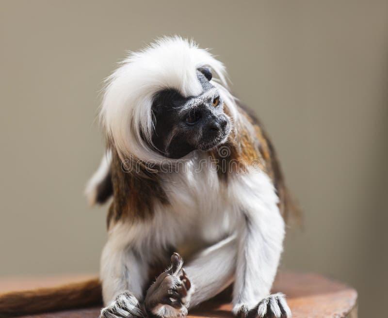 棉花头等的绢毛猴(Saguinus俄狄浦斯) 免版税库存照片