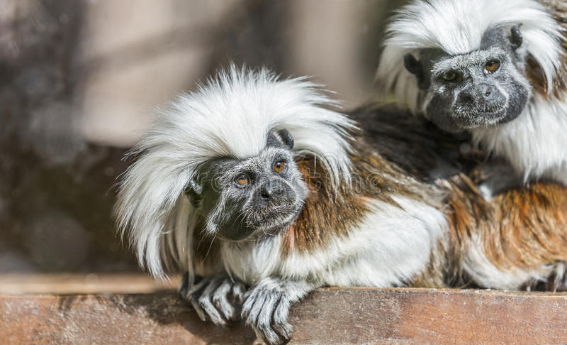 棉花头等的绢毛猴- Saguinus俄狄浦斯 免版税图库摄影