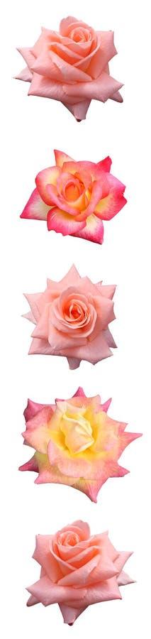 棒玫瑰垂直 库存图片