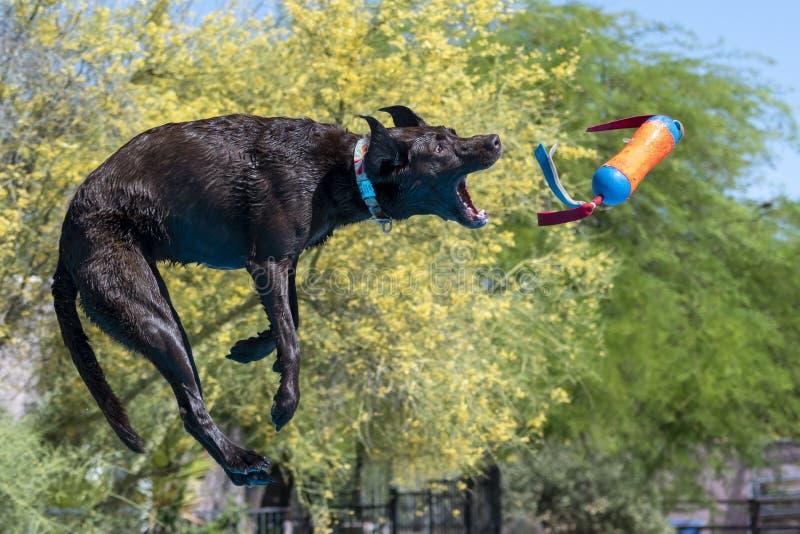 棕拉布拉多猎犬在空中捕捉玩具 图库摄影