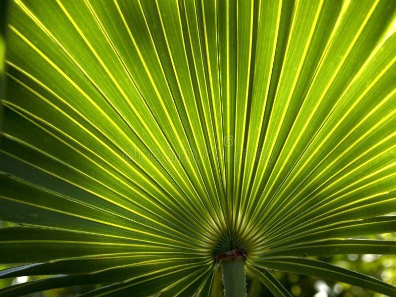 棕榈叶状体背景2 免版税库存图片