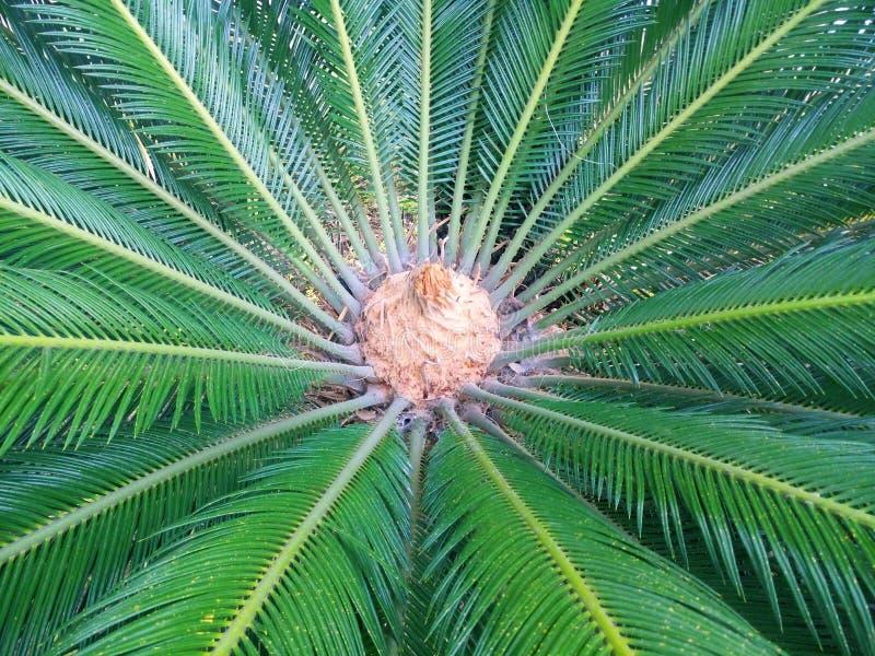 棕榈叶绿色背景 特写镜头棕榈树背景 免版税库存图片