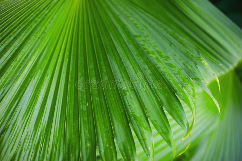 棕榈叶背景,美丽的树,棕枝全日 库存照片