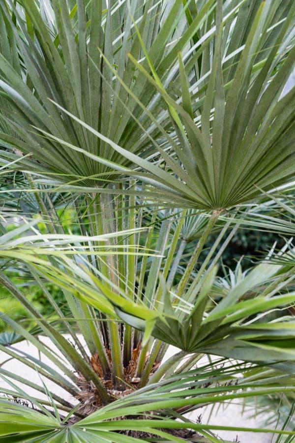 棕榈叶chamearops humilis矮小的棕榈树植物留下从中间海的叶子地中海 库存照片
