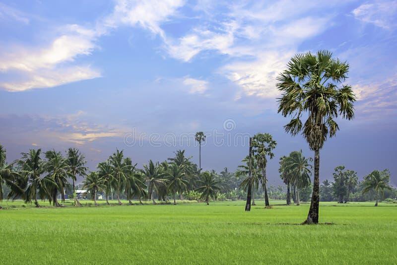 棕榈和椰子在稻田和天空的秀丽 库存照片