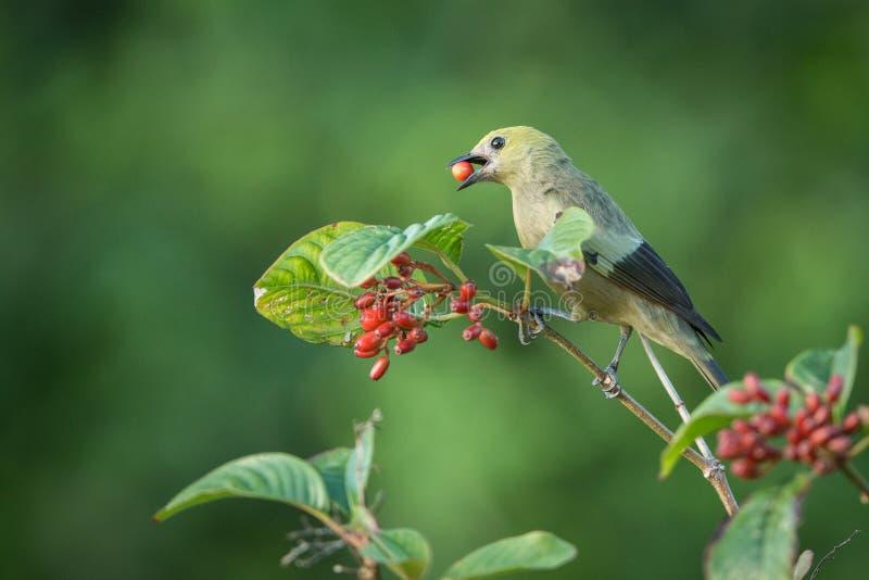 棕榈唐纳雀,Thraupis palmarum,在分支吃小红色莓果 绿色歌手,绿色和清楚的backgrou接近的画象  免版税库存照片