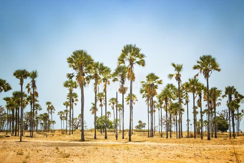 棕榈在沙漠中间的树丛身分在塞内加尔,非洲 背景是天空蔚蓝 It';s自然本底 库存图片