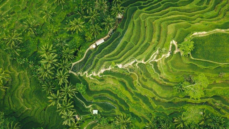 棕榈在米领域种植园 免版税库存照片