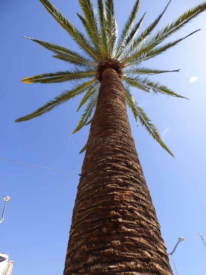 棕榈在Ovalle,智利 免版税库存图片