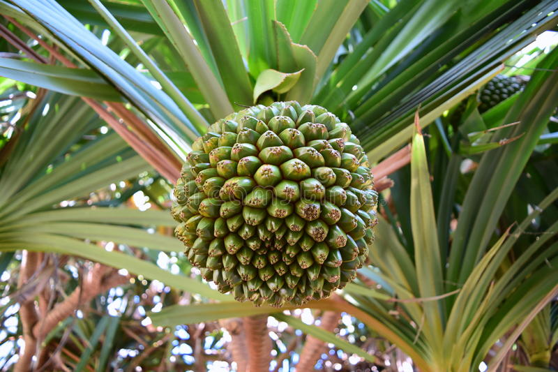 棕榈果子种子 库存照片