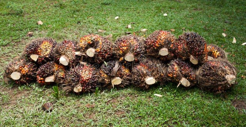棕榈果子 免版税图库摄影