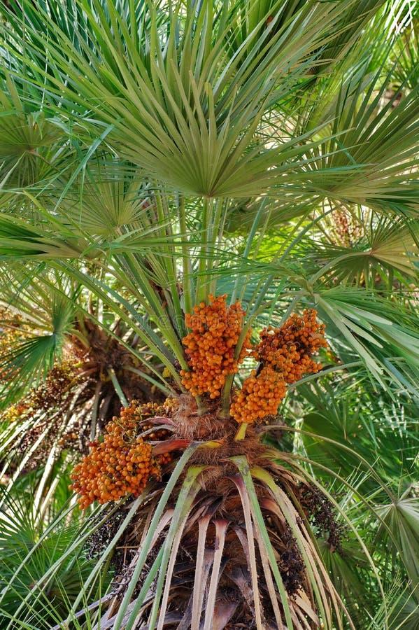 棕榈果子 库存照片