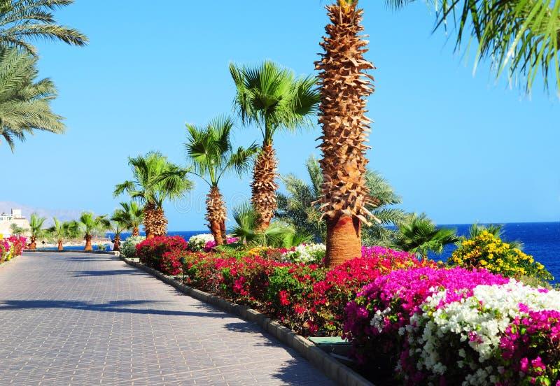 棕榈树、美丽的开花的花和人行道在热带庭院在红海沿岸航行 免版税库存照片