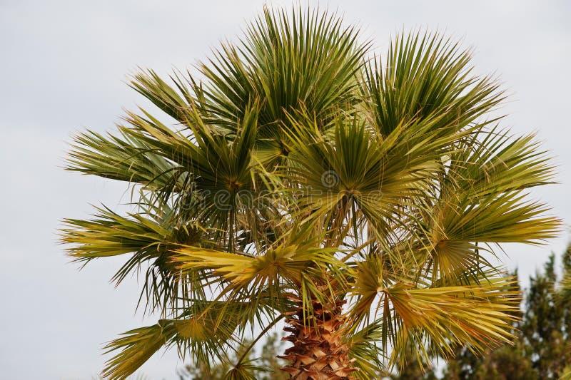 棕榈树一上面在白色天空的在日落 免版税图库摄影
