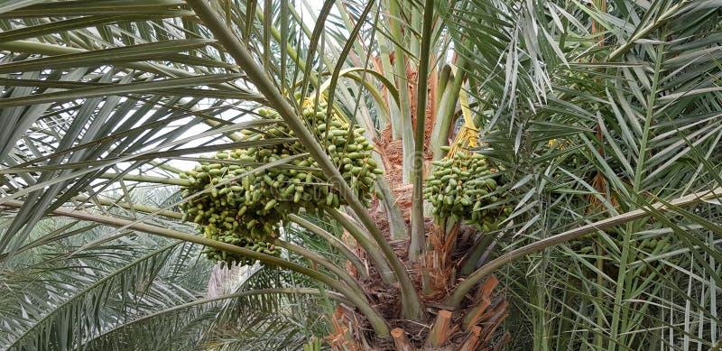 棕榈树与未加工的日期 免版税图库摄影