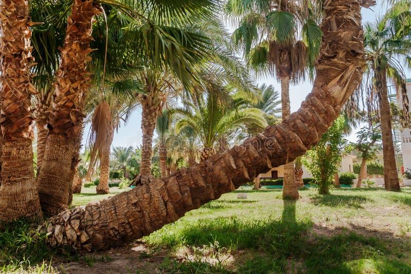 棕榈树丛和棕榈树异常的弯曲的形状 库存照片