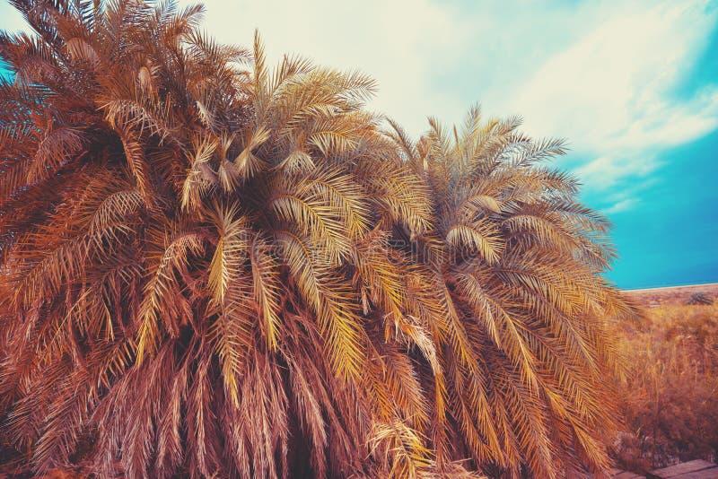 棕榈树丛,绿洲在沙漠 库存照片