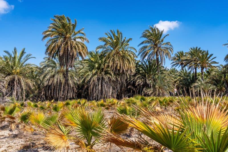 棕榈树丛,Palmeral在阿利坎特附近的埃尔切在西班牙 免版税库存图片