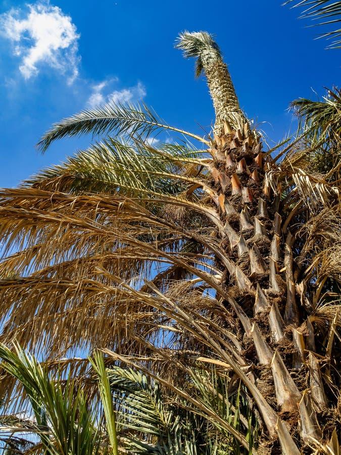 棕榈树丛,Palmeral在阿利坎特附近的埃尔切在西班牙 免版税库存照片