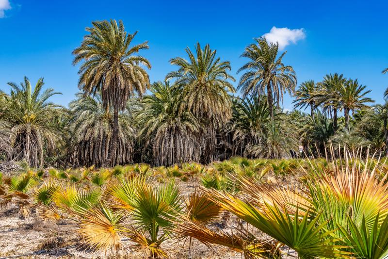 棕榈树丛,Palmeral在阿利坎特附近的埃尔切在西班牙 库存图片