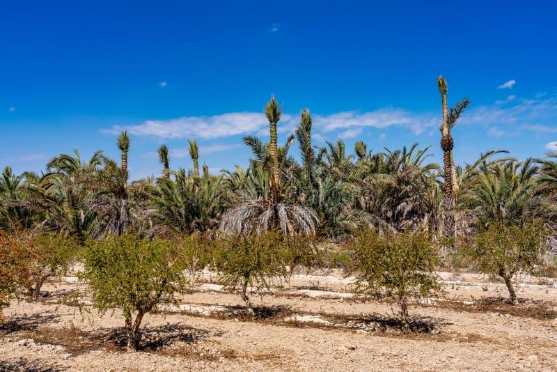 棕榈树丛,Palmeral在阿利坎特附近的埃尔切在西班牙 库存照片